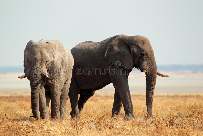 Afrikaanse Olifanten Op Open Vlaktes Royalty-vrije Stock Foto