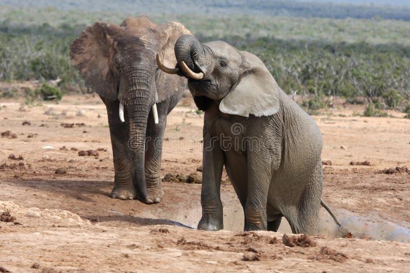 Afrikaanse Olifanten in Waterhole stock afbeelding