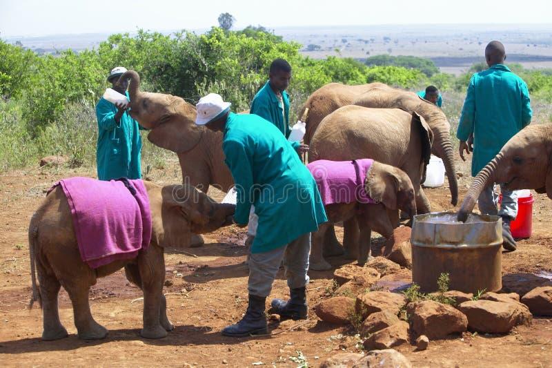 Afrikaanse Olifantsbewaarder met Goedgekeurde Baby Afrikaanse Olifant in David Sheldrick Wildlife Trust in Nairobi, Kenia stock afbeelding