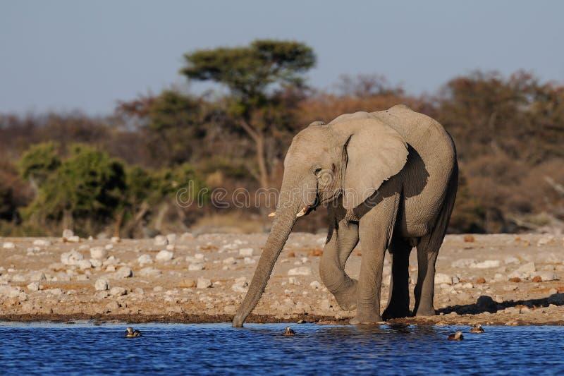 Afrikaanse olifantsdrank op een waterhole, etosha nationalpark royalty-vrije stock foto
