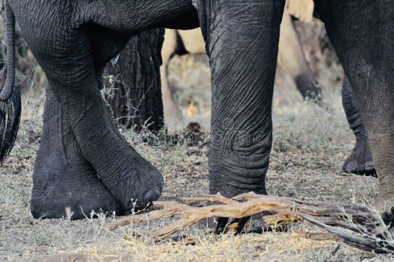 Afrikaanse Olifantsvoeten in de wildernis royalty-vrije stock foto's