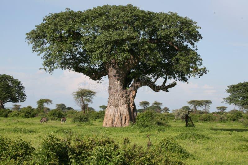 Afrikaanse pictrures wilde safari Tanzania Rwanda Botswana Kenia van de savannezomer royalty-vrije stock foto