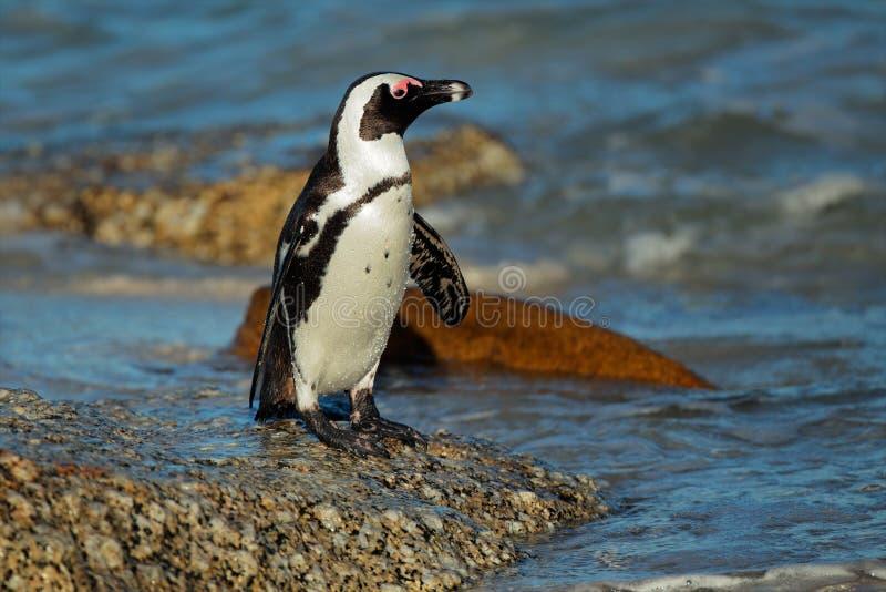 Afrikaanse pinguïn stock foto's