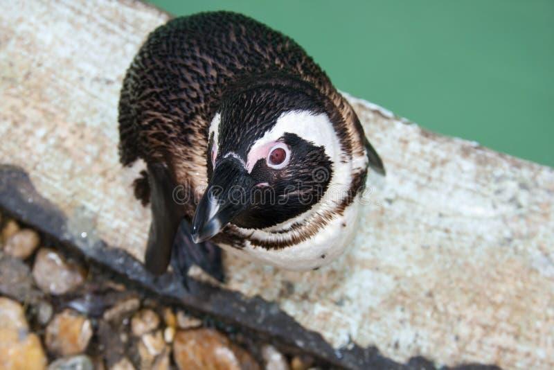 Afrikaanse pinguïn stock afbeelding