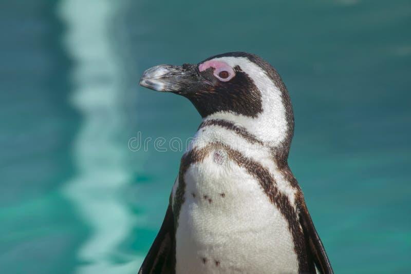 Afrikaanse pinguïn royalty-vrije stock fotografie