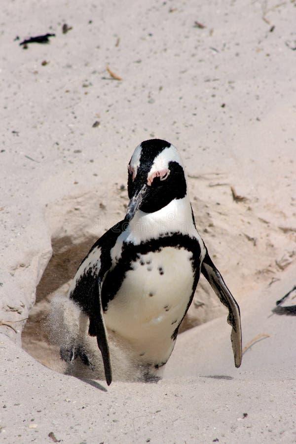 Afrikaanse Pinguïn stock foto