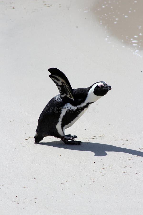 Afrikaanse Pinguïn royalty-vrije stock foto