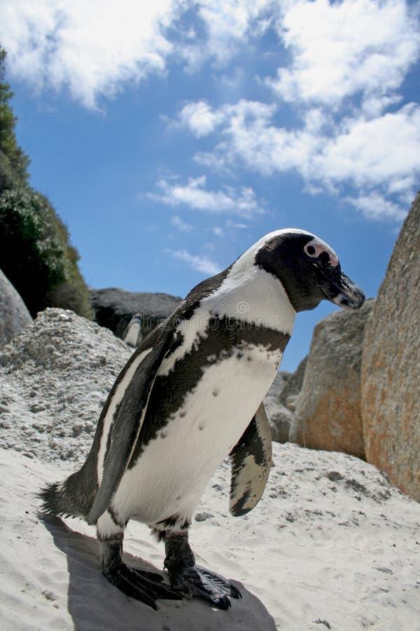Afrikaanse Pinguïn royalty-vrije stock afbeelding