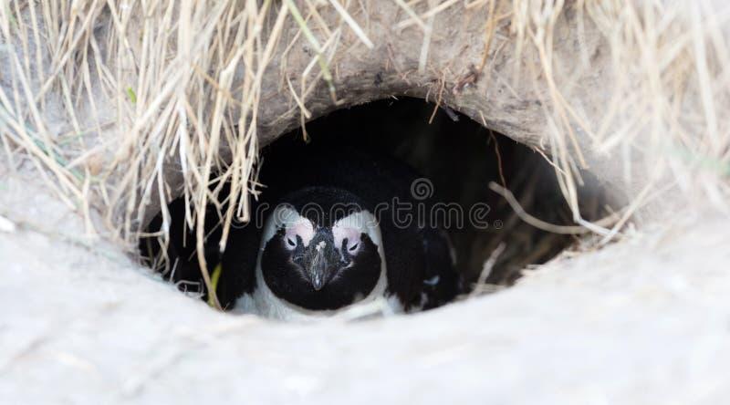 Afrikaanse Pinguïn in een nest stock foto's