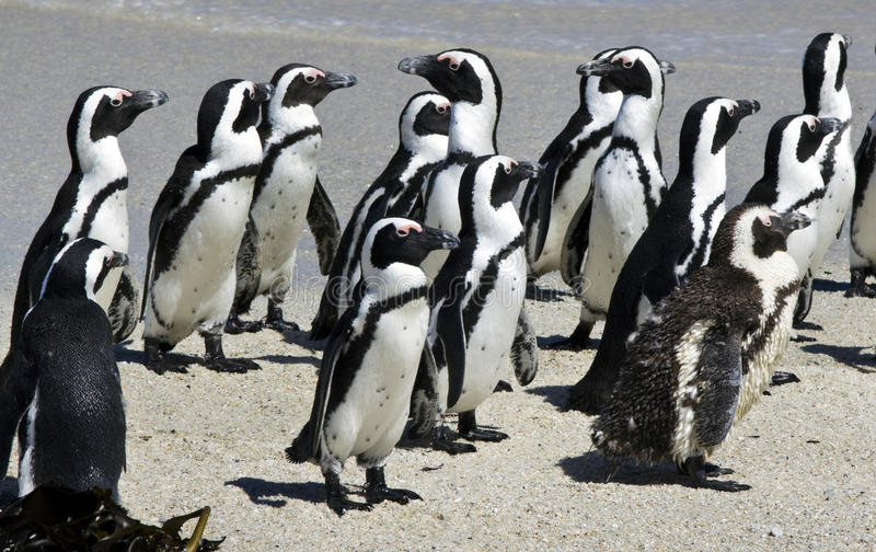 Afrikaanse pinguïnen bij het Strand van Keien stock afbeelding