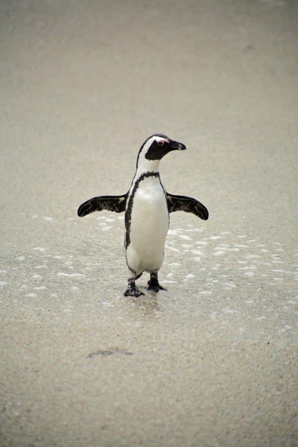 Afrikaanse Pinguïnen bij het Strand van Keien, Zuid-Afrika royalty-vrije stock foto's