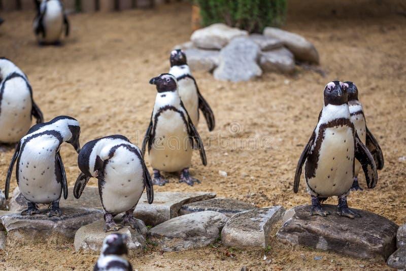 Afrikaanse pinguïnen in de dierentuin van Tbilisi, de wereld van dieren stock fotografie