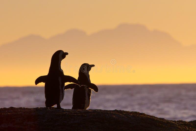Afrikaanse pinguïnen in ochtendzon