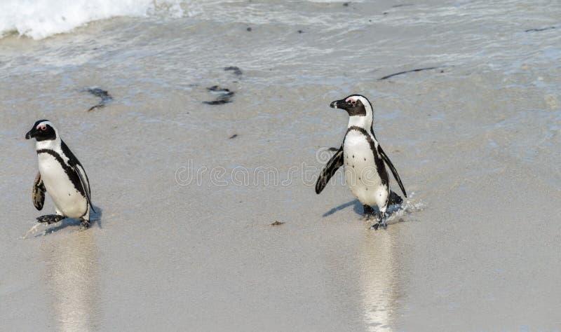 Download Afrikaanse Pinguïnen In Simonstown (Zuid-Afrika) Stock Afbeelding - Afbeelding bestaande uit overzees, wild: 54090821