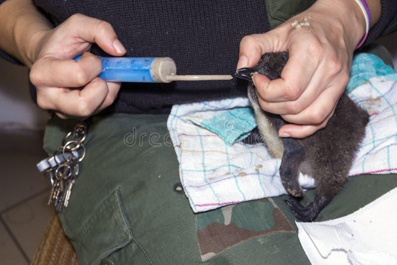 Afrikaanse pinguïnkip royalty-vrije stock foto