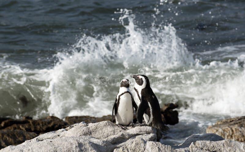 Afrikaanse pinguïnkolonie bij de Baai Westelijke Kaap Zuid-Afrika van Betty stock foto's