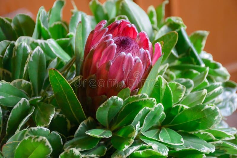 Afrikaanse protea in groen gebladerte stock foto