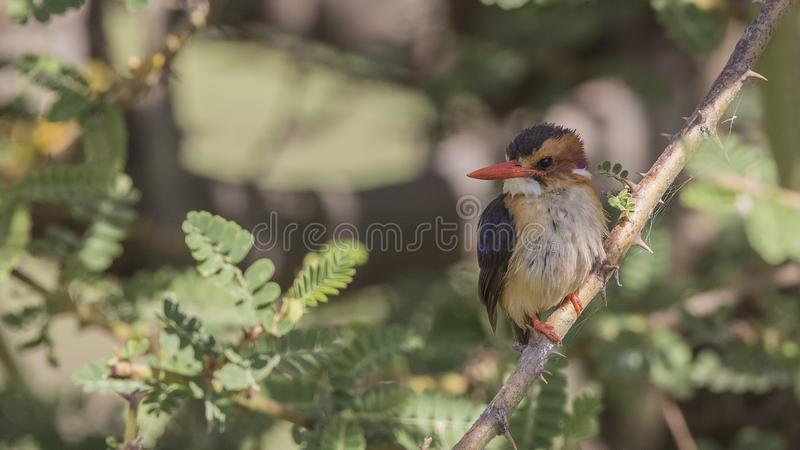 Afrikaanse Pygmy Ijsvogel op Boomtak royalty-vrije stock afbeelding