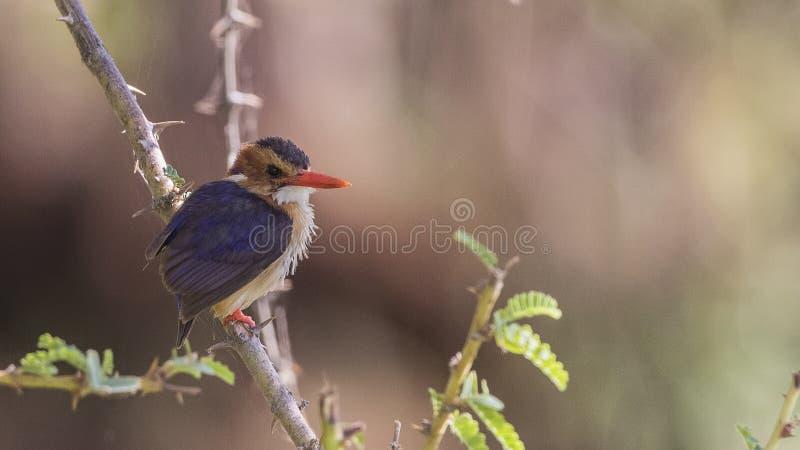 Afrikaanse Pygmy Ijsvogel op Tak stock afbeelding