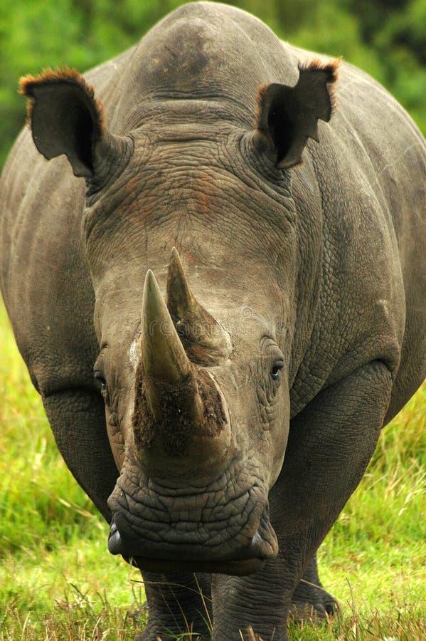 Afrikaanse Rinoceros royalty-vrije stock foto