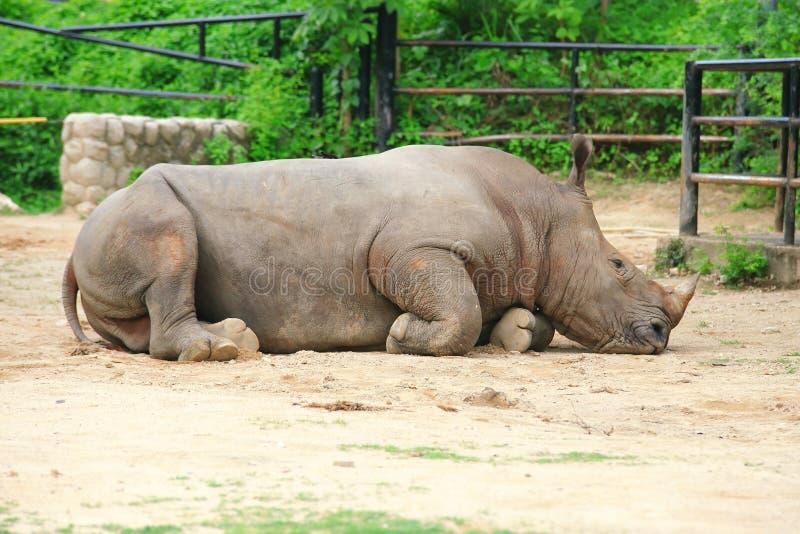 Afrikaanse Rinoceros stock afbeelding