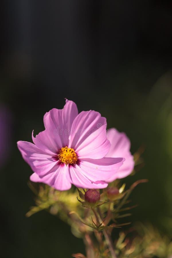 Afrikaanse roze madeliefjebloem Osteospermum stock afbeeldingen
