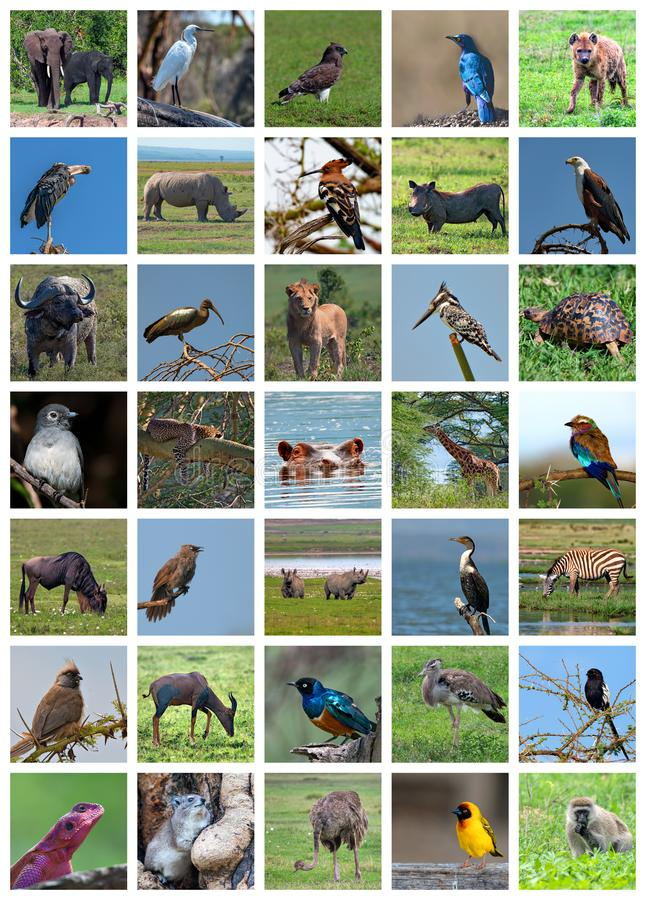 Afrikaanse safaricollage Het wildverscheidenheid royalty-vrije stock foto