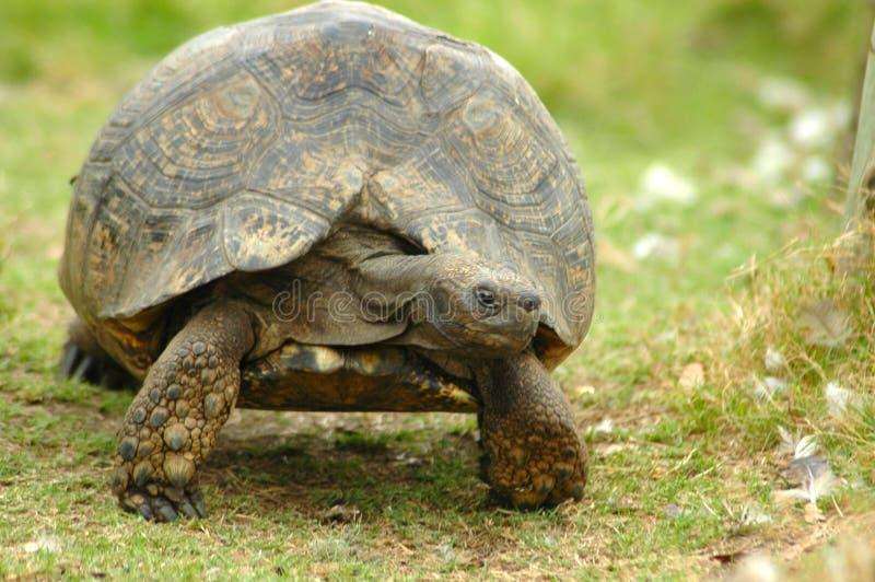 Afrikaanse schildpad royalty-vrije stock foto's
