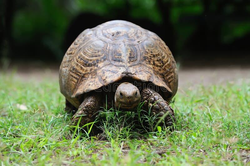 Afrikaanse schildpad in gras royalty-vrije stock foto's