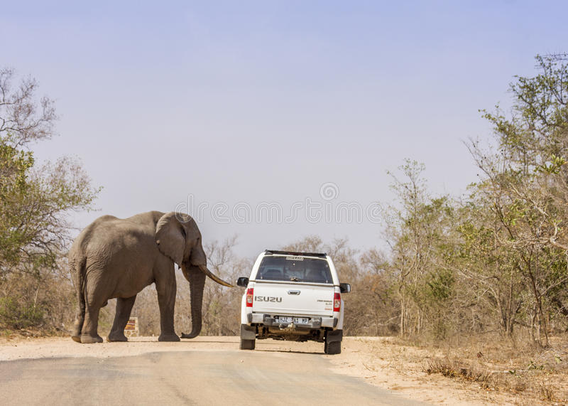 Afrikaanse struikolifant die op de weg, in Kruger-Park, Zuid-Afrika lopen royalty-vrije stock afbeeldingen