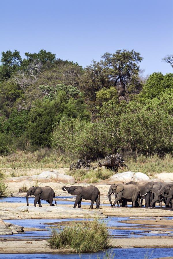 Afrikaanse struikolifant in het Nationale park van Kruger royalty-vrije stock foto's