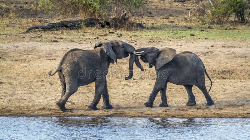 Afrikaanse struikolifant in het Nationale park van Kruger stock afbeelding