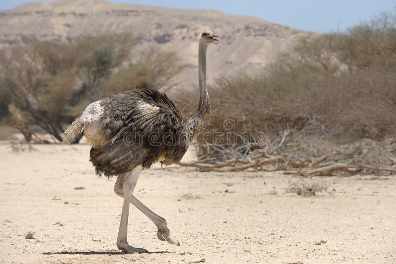 Afrikaanse struisvogel stock afbeeldingen