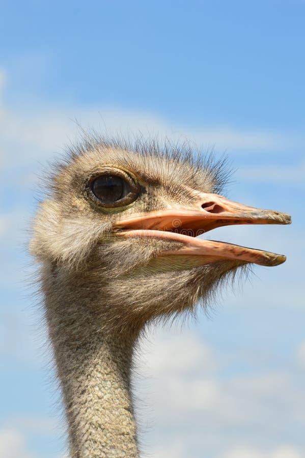 Afrikaanse struisvogel stock foto