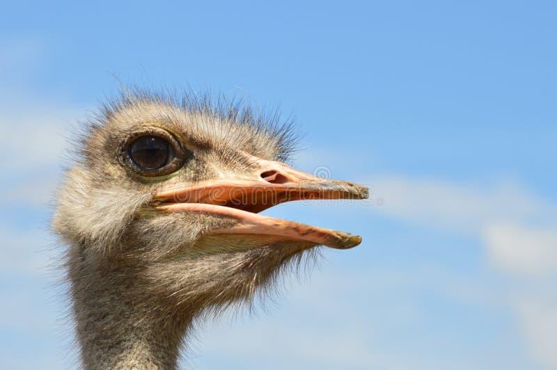 Afrikaanse struisvogel stock fotografie