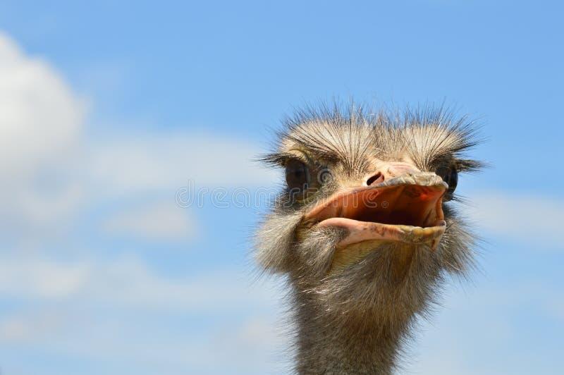 Afrikaanse struisvogel royalty-vrije stock foto's