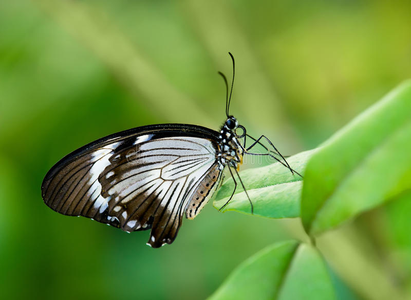 Afrikaanse Swallowtail-vlinder royalty-vrije stock afbeelding