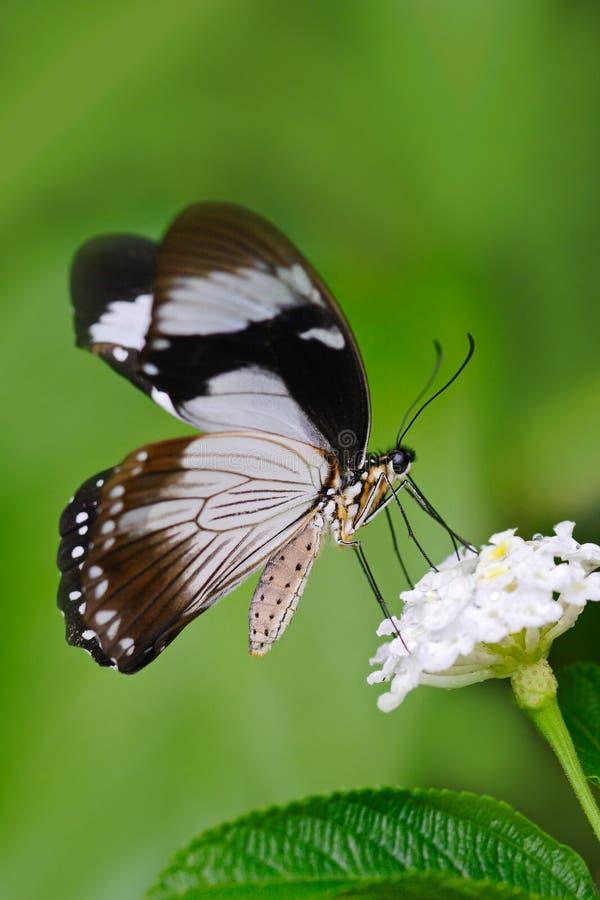 Afrikaanse Swallowtail-vlinder, Papilio-dordanus, die op de witte bloem zitten Insect in het donkere tropische bos, aardhabitat W royalty-vrije stock afbeelding
