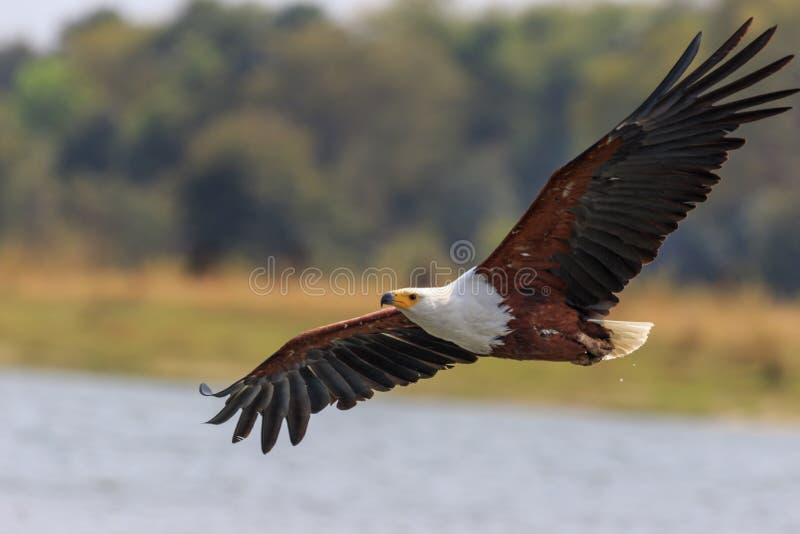 Afrikaanse vissenadelaar die laag vliegen royalty-vrije stock foto