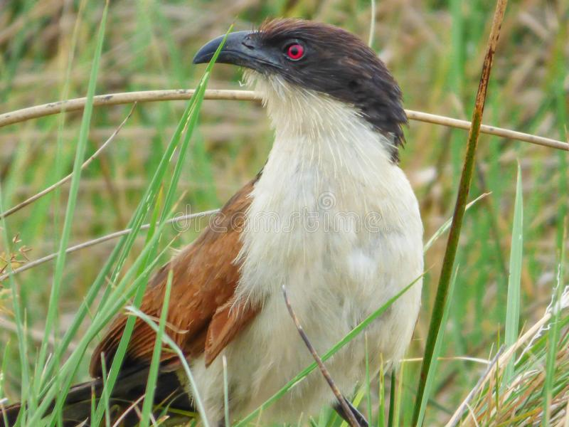 Afrikaanse vogel coucal Burchells, Botswana royalty-vrije stock foto