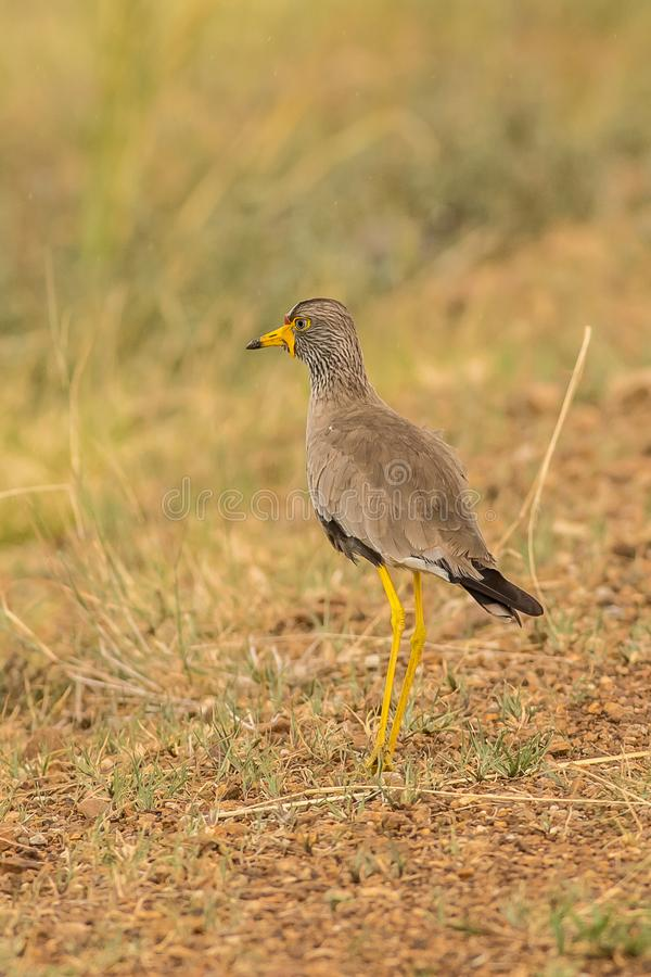 Afrikaanse Wattled-Kievit Namibië stock afbeeldingen