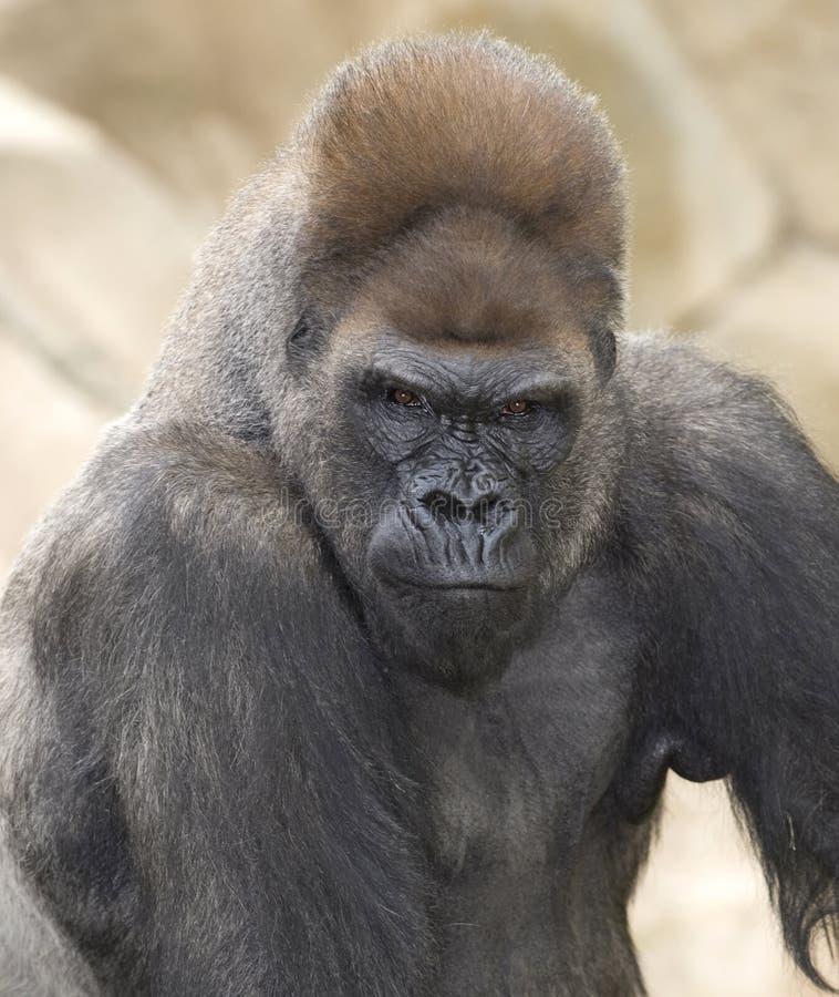 Afrikaanse westelijke laaglandengorilla silverback royalty-vrije stock foto's
