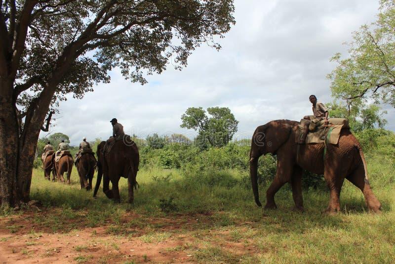 Afrikaanse wilde dieren - Elephant back Safari - Zambia stock foto's