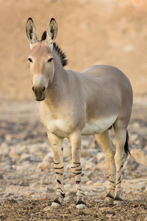 Afrikaanse wilde ezel stock fotografie