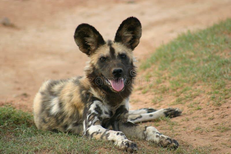 Afrikaanse Wilde Hond royalty-vrije stock afbeeldingen