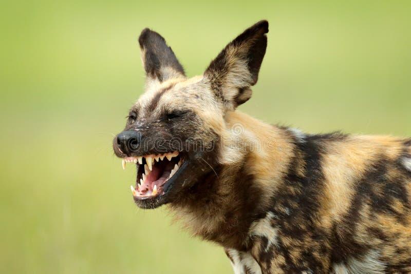 Afrikaanse wilde hond, open snuitsnuit met tanden, die in het water op de weg lopen De jacht van geschilderde hond met mooie aflu royalty-vrije stock foto