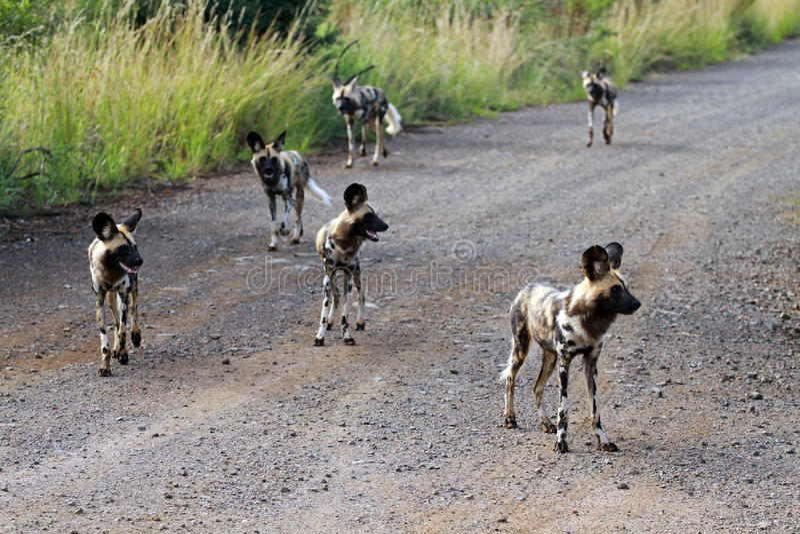 Afrikaanse wilde honden stock afbeeldingen