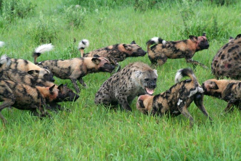 Afrikaanse wilde honden die bevlekte hyena's aanvallen royalty-vrije stock afbeelding