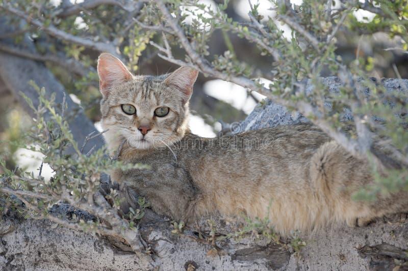 Afrikaanse Wilde Kat stock afbeeldingen