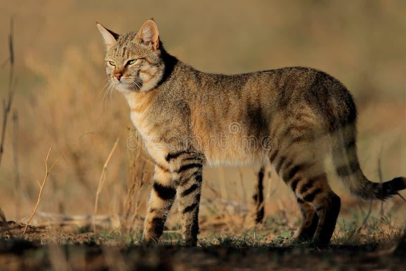 Afrikaanse wilde kat stock afbeelding